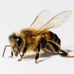 سم زنبور کلیدی برای وارد کردن داروها به مغز